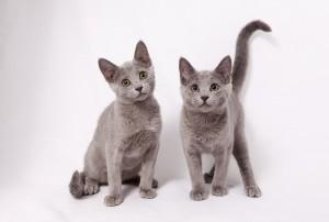 русская голубая кошка фото, русская голубая фото, порода кошек русская голубая фото, кошка русская голубая фото цена, кот русская голубая фото, русская голубая котята фото, русская голубая кошка фото, кот породы русская голубая фото,   русская голубая кошка фото котят, порода русская голубая фото, русская голубая кошка фото характер, русский голубой кот фото википедия, русская голубая фото, русская голубая длинношерстная кошка фото, русский голубой кот фото википедия,   порода кошек русская голубая фото, породы кошек фото и названия русская голубая, русская голубая кошка фотографии, кот русская голубая фото, русская голубая кошка описание породы фото, русская голубая котята фото, порода кошек русская   голубая фото цена, русский голубой и абиссинский кот фото, русская голубая нибелунг фото, кошка русская голубая фото характеристики, русская голубая кошка фото стоимость, порода русская голубая фото, русская голубая фото цена, кошка   русская голубая фото описание, русская голубая фото и описание, картинки русской голубой кошки, картинки кошек породы русская голубая, русская голубая картинки, картинки русских голубых котов