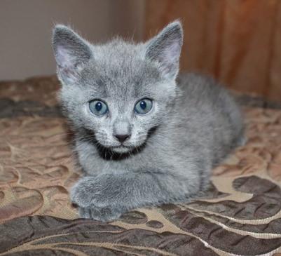 русская голубая кошка цена и фото
