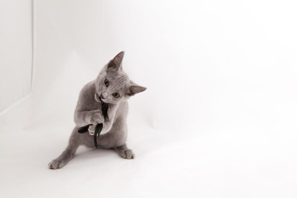 Русская голубая кошка Lapochka LUKOSAN