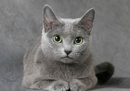 фото кот русская голубая