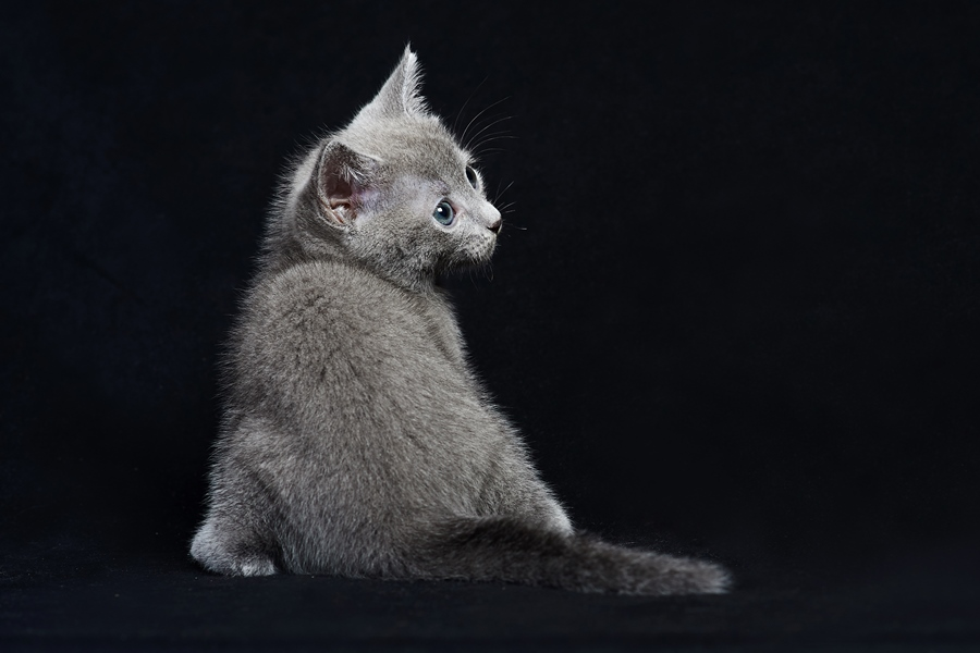 Русская голубая кошка: вес и размеры. Вес по месяцам по мере роста котенка русской голубой