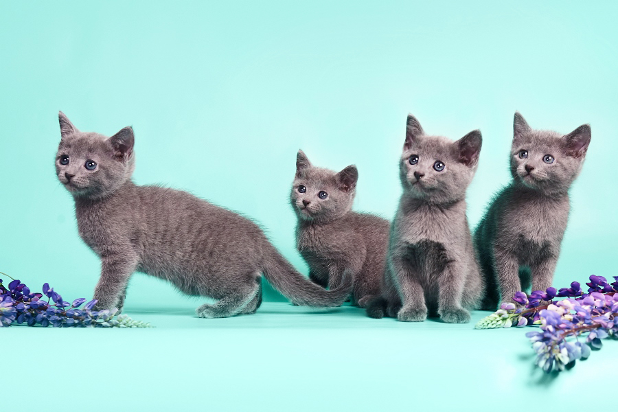 Русские голубые котята в дар. Кошки, коты, котята: русская голубая даром (бесплатно) - отдадим в добрые руки.