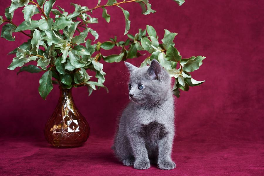 Русская голубая кошка клички (имена) для мальчиков и девочек. Как назвать котенка от А до Я