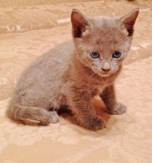 Русская голубая кошка: цена, фото