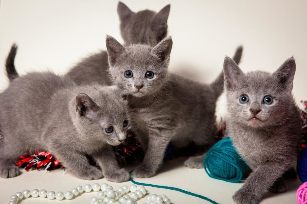 Русские голубые коттята