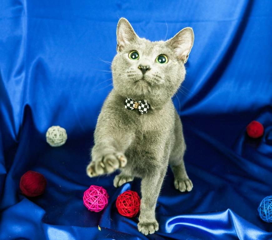 Кот, русская голубая порода. Вязка!
