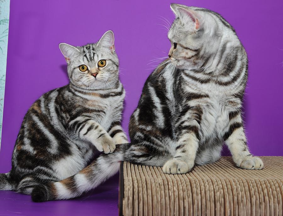 Британская кошка серебристая мраморная Фантазия