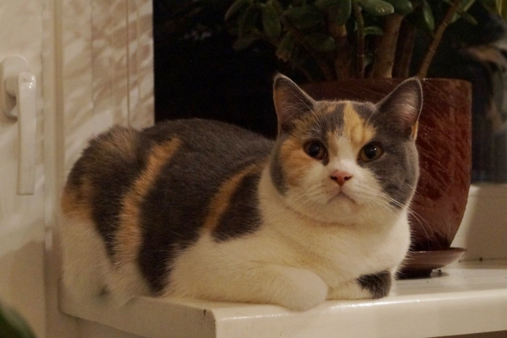 Британская кошка голубо-кремовый биколор (калико, триколор) Zhasmin Lukosan
