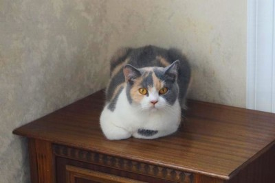 Британская кошка Жасмин