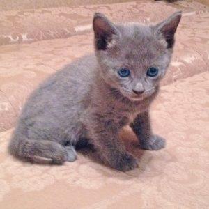 русская голубая кошка цена, кошка русская голубая фото цена, русская голубая цена, кот русская голубая цена, русская голубая цена котенка, порода кошек русская голубая цена, русский голубой кот википедия цена, русская голубая кошка цена москва, русская голубая кошка цена украина, русская голубая кошка цена, порода кошек русская голубая фото цена, русская голубая кошка сызрань цена, русская голубая кошка родословная цена, русская голубая кошка цена харьков, русская голубая кошка цена купить, русская голубая цена, русская голубая фото цена, порода русская голубая цена, русская голубая цена украина, стоимость русской голубой кошки, стоимость русской голубой, русская голубая кошка фото стоимость
