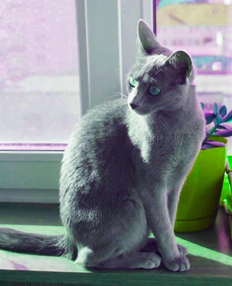 Русская голубая кошка Лапочка
