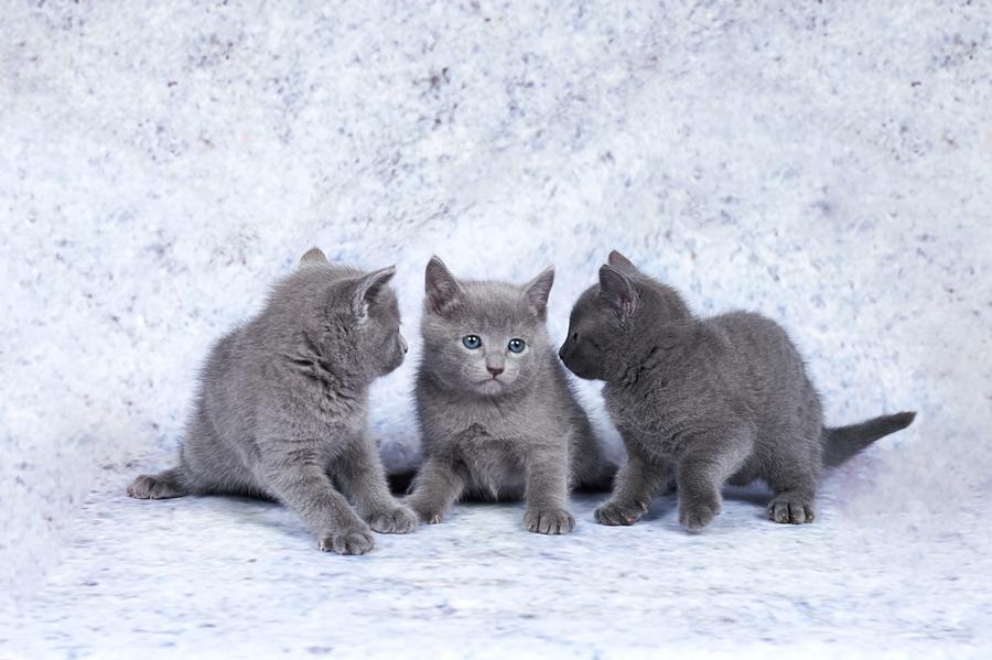 Русская голубая кошка: фото породы