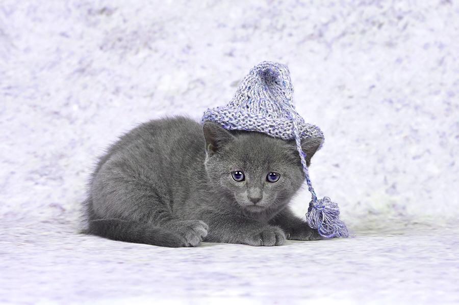 Сколько стоит русская голубая: кошка, кот, котенок? - Питомник Lukosan