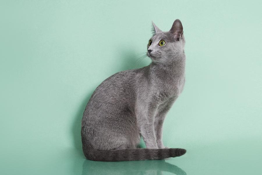 Русская голубая кошка Lacky