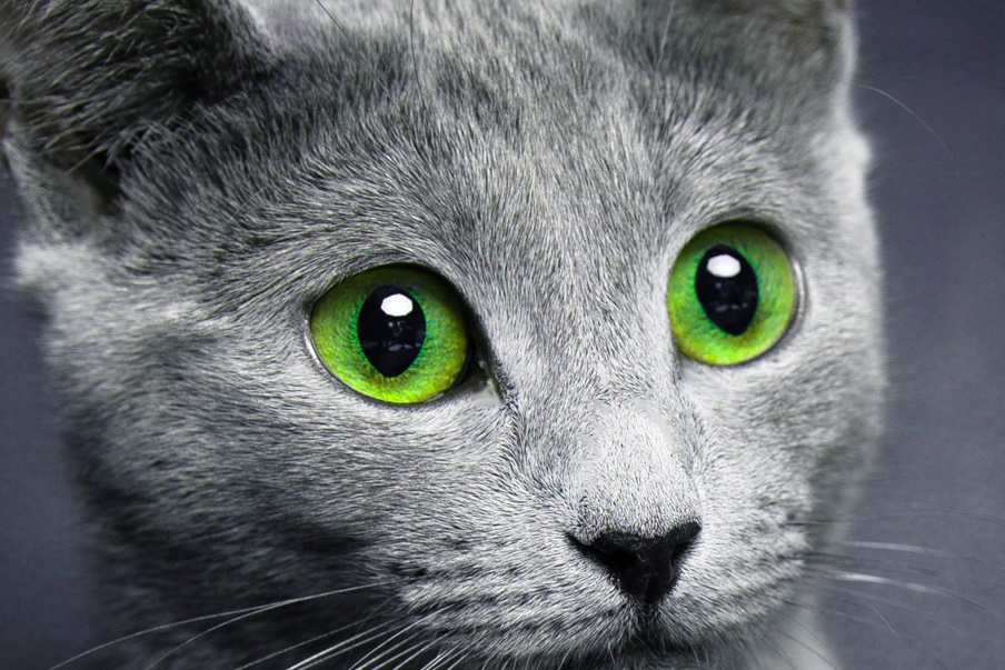 Русская голубая кошка: цвет глаз