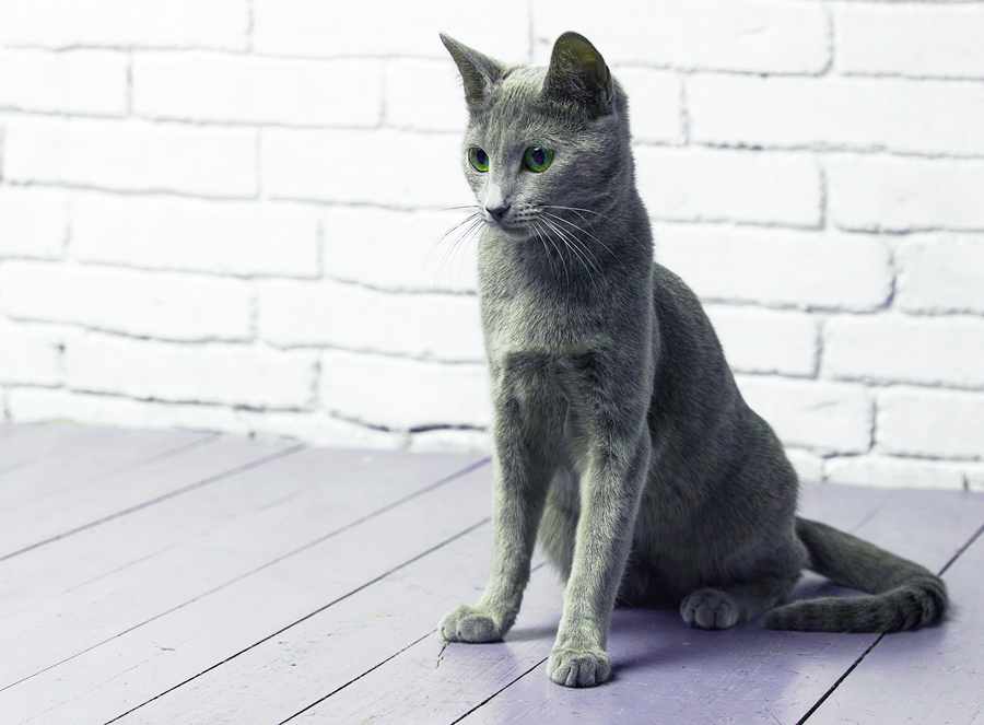 Русская голубая кошка Jessica