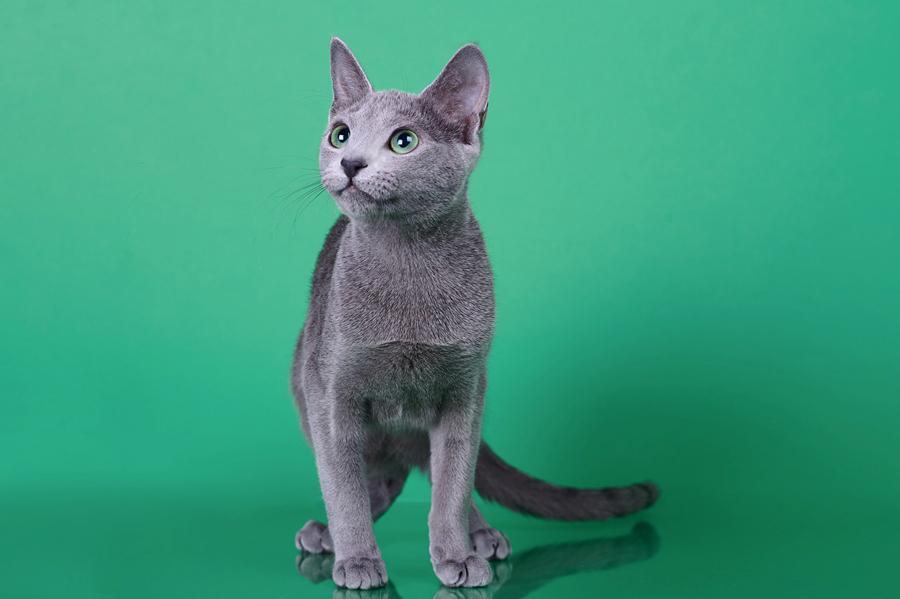 Русская голубая кошка Osa